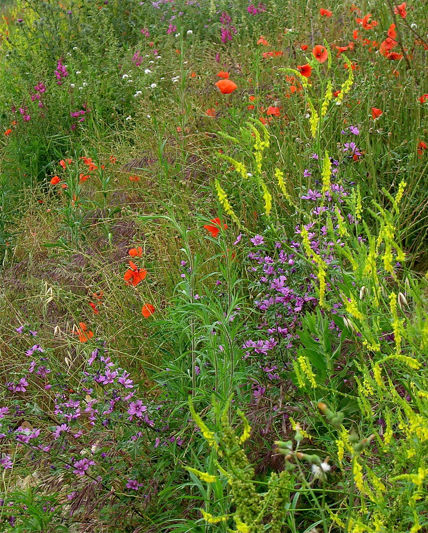 Roadside wildflowers in June in the countryside of Catalonia, Spain