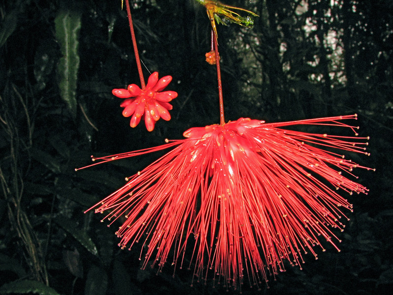 Powder puff flower of a Calliandra sp. tree (Fabaceae) in the forest at Alberto Manuel Brenes Biological Reserva, Costa Rica