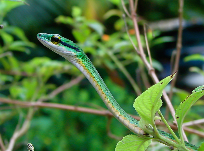 Green Parrot Snake (Leptophis ahaetulla), Campanario, Osa Peninsula, Costa Rica.  On multiple occasions we have found this species in a hibiscus hedge at the border between primary forest and a small garden plot. Spanish names are Bejuquillo verde, lora falsa gigante.