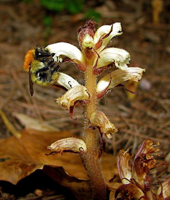 Bumblebee on flowers of the parasitic plant Orobanche hederae (family Orobanchaceae). These holoparasites lack chlorophyll and gain their carbon and energy via an underground haustorium that connects to a photosynthetic plant.  This species parasitizes ivy, here seen growing in Besalu, Catalonia, Spain.