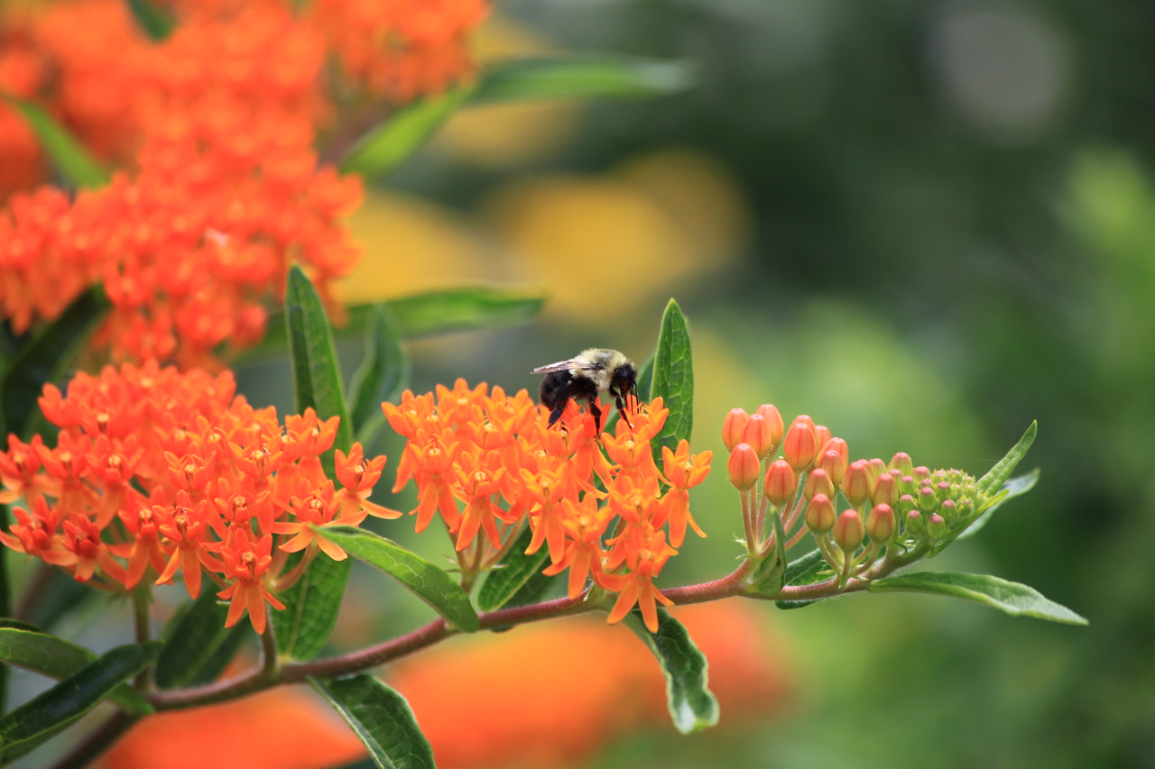 Bumblebee (Bombus impatiens) gathering nectar from flowers of Orange Milkweed (Asclepias tuberosa).