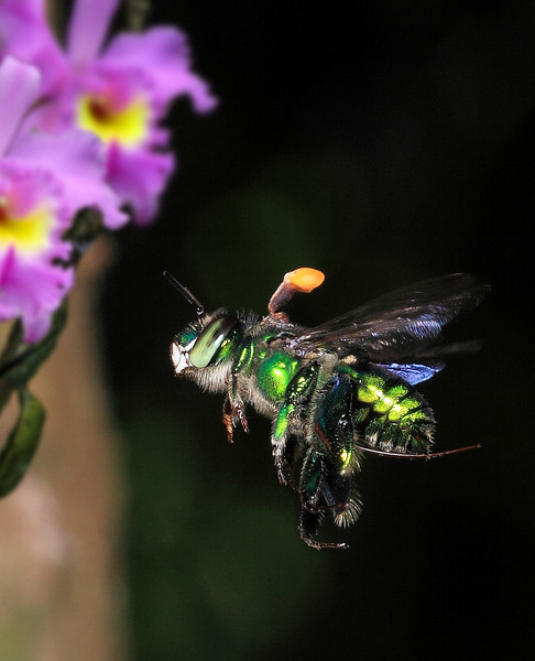 Euglossa sp bee with an orchid pollinia attached to its dorsal thorax.  Note the very long proboscis, which trails beyond the posterior tip of the abdomen during flight.